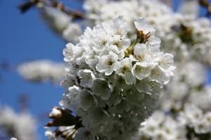 omgeving - lentebloesem