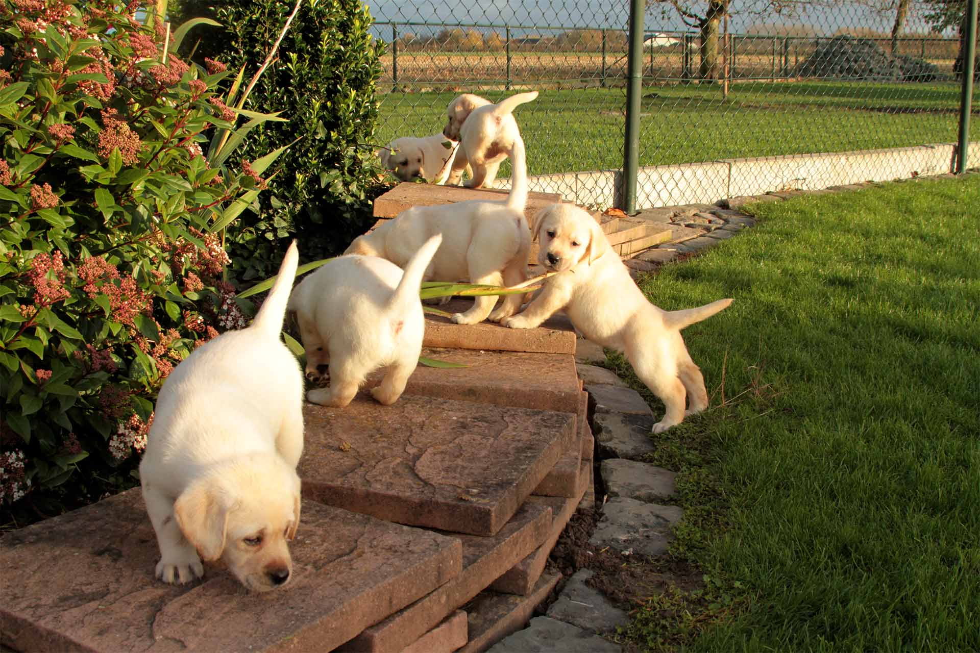 jojamacoshof labrador kennel