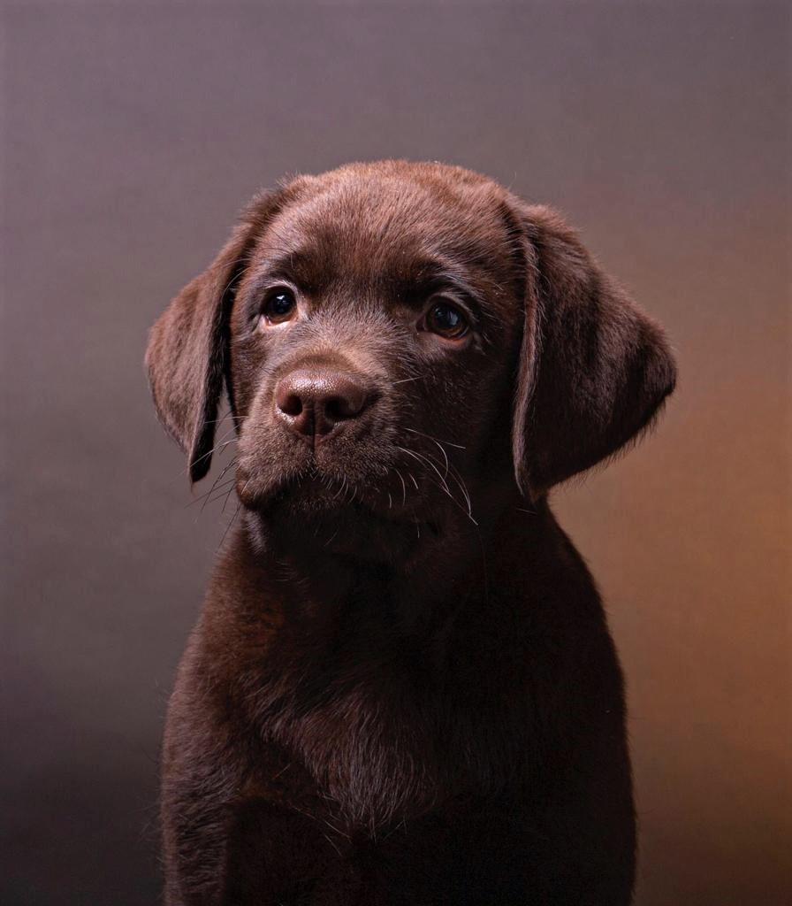 puppy labrador jojamacoshof